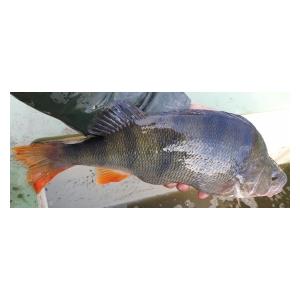 Do pískovny bylo vysazeno celkem 6 803 kg nádherných ryb