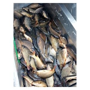 Do vodní plochy Smilovice bylo vysazeno 500 kg kaprů