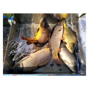 Rybáři z Týnce zarybnili revír Labe 25 A
