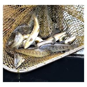 Rybáři z Mnichova Hradiště vysadili potočáky a duháky
